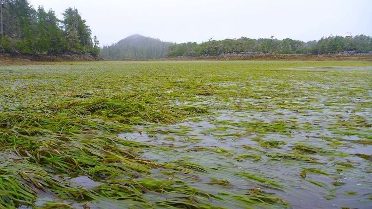 Zostera Eelgrass Zostera marina Biodiversity of the Central Coast