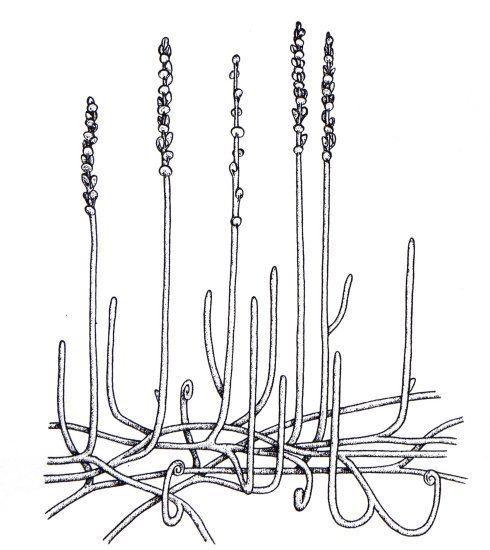 Zosterophyllum Zosterophyllum myretonianum