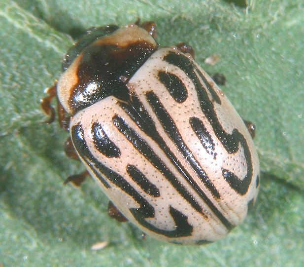 Zygogramma Featured insects