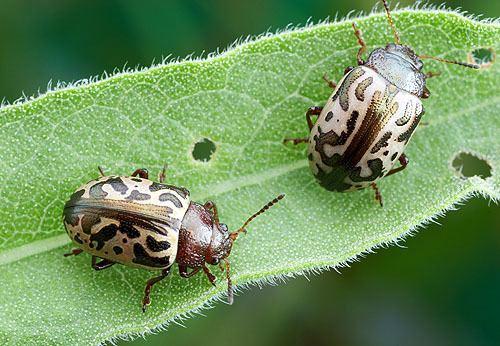 Zygogramma Friday Beetle Blogging Zygogramma Leaf Beetles