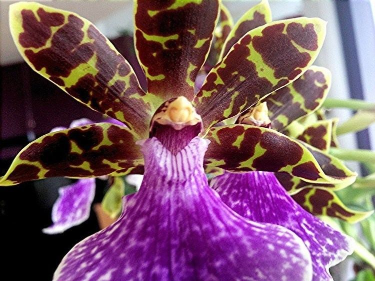 Zygopetalum Orchid Care and culture tips on potting watering and reblooming