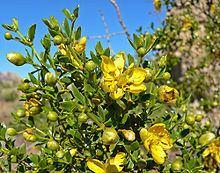 Zygophyllaceae httpsuploadwikimediaorgwikipediacommonsthu