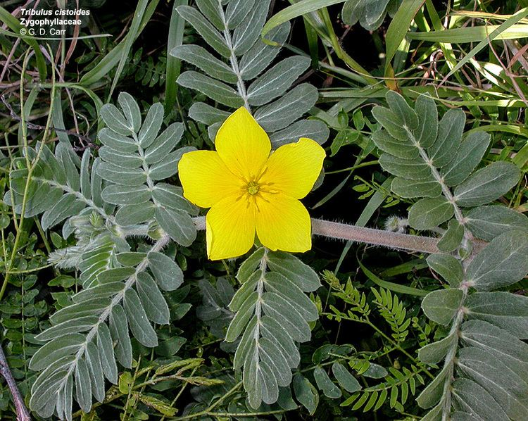 Zygophyllaceae Flowering Plant Families UH Botany