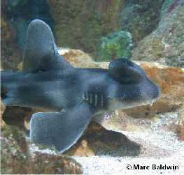 Crested bullhead shark Crested Bullhead Shark Information amp Pictures of Crested Bullhead