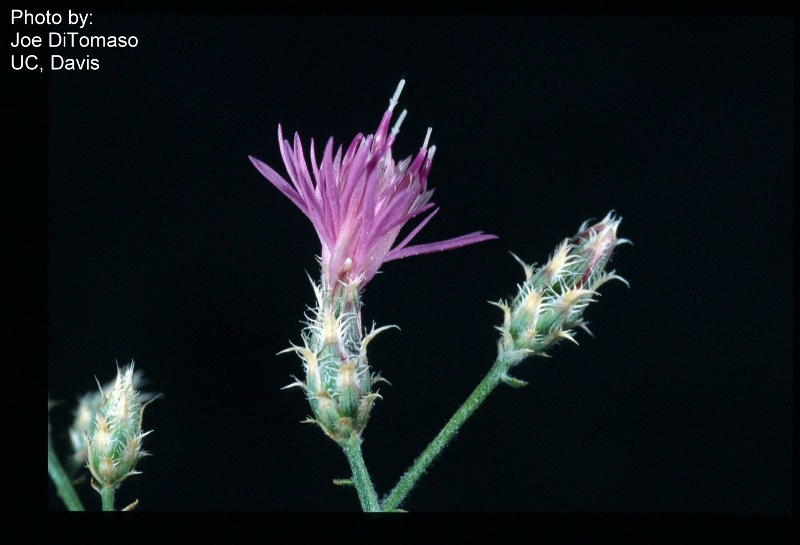 Centaurea virgata Centaurea virgata RoguesGallery