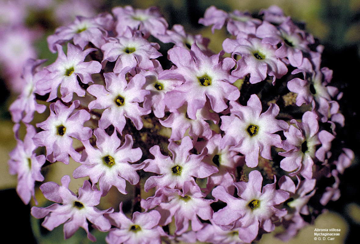 Nyctaginaceae Flowering Plant Families UH Botany